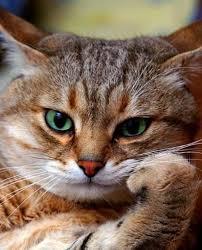 76 Foto Gambar Kucing Galau Paling Keren