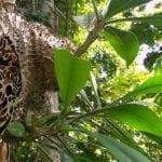 1001 Khasiat Sarang Semut Papua bagi Kesehatan Tubuh