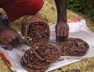 Khasiat Sarang Semut Papua bagi Kesehatan Tubuh