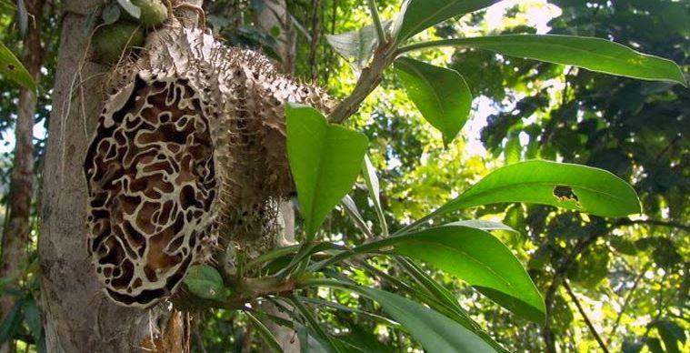 Khasiat Sarang Semut Papua