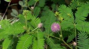 khasiat daun bunga putri malu