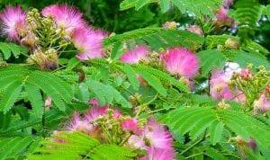 khasiat daun putri malu